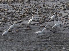 Great egrets () (Greg Peterson in Japan) Tags: egretsandherons shiga birds cormorants wildlife deba japan yasugawa ritto rivers shigaprefecture jpn