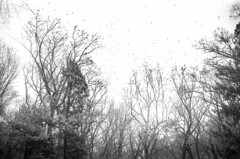 j2016_001_024 (chuckp) Tags: baltimore leicam2 birds blackandwhite tree md us