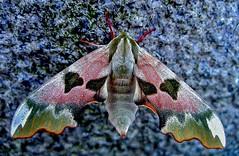 Lindepijlstaart -  Lime Hawkmoth - Mimas tiliae (Foto by Yves) Tags: lepidoptera vlinders sphingidae pijlstaarten 100mm macro linnaeus 1758 specinsects