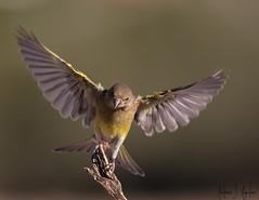 landing (Antonio J. Aguilera) Tags: landing birds birdwatching action accion aterrizaje nature aves verderoncomun chlorischloris 7dmarkii canon30028isii ornithology bird naturaleza wildlifephotographer hide canon primelens
