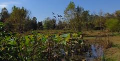 Gnse ber dem Lotus-Teich (langkawi) Tags: kenilworthaquaticgardens nationalpark lotus nelumbo dc metro seedpods