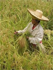 稲の収穫 (JIRCAS) Tags: フィリピン バナウエイ 稲 収穫 フォトギャラリー2009
