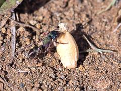 BIG LIFT (16th man) Tags: toowoomba qld queensland australia greenant barley canon eos eos5dmkiii macro