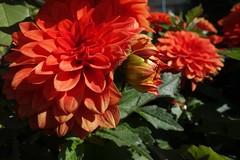 Dahlien, 75223/7426 (roba66) Tags: dahlie blumen blume blten flower blossom roba66 fleur flori flor flora flores bloem plants pflanzen makro macro closeup colour color farbe
