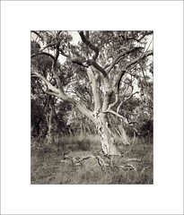 Hall Paddock #4 (Steve5728) Tags: tree eucalypt ilford largeformat sinar 4x5sheetfilm hp5hallcanberragum