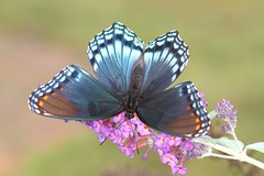 Red Spotted Purple (DrPhotoMoto) Tags: blue orange butterfly northcarolina mimic butterflybush richmondcounty limenitisarthemis redspottedpurple thinfilminterference pipevineswallowtailmimic