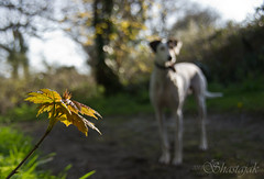 Flori and the Sycamore (Shastajak) Tags: dog sunlight leaves sunshine pentax bokeh whippet sycamore bullterrier sighthound rehomed rescued k5 saluki lurcher flori crossbreed gazehound tamron18250mm pentaxk5