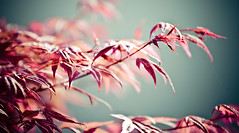Pink Maple (Cyrielle Beaubois) Tags: pink canada leaves japan spring maple bokeh montreal qubec printemps japon feuilles rable jardinbotanique 2013 canoneos5dmarkii cyriellebeaubois