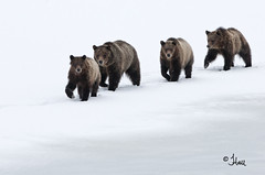 Grizzly Bear 610 and her cubs taking a stroll in GTNP - JEN_4101bt (teagden) Tags: bear park family snow cold ice photography cub three spring walk wildlife grand national april cubs grizzly teton stroll grizzlybear grandtetonnationalpark 610 gtnp wildlifephotography 2013 specanimal jenniferhall threecubs