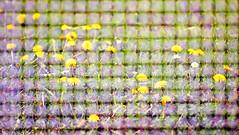 fency dandelions #HFF (olipennell) Tags: flower fence dandelion mai blume zaun gitter kurpark badrappenau löwenzahn