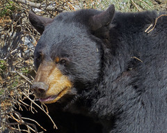 Black Bear (njchow82) Tags: bear portrait nature animal closeup wildlife blackbear calgaryzoo lumen inspiredbylove animaladdiction beautifulexpression thewildlife worldofanimals itsazoooutthere earthnaturelife canonpowershotsx50hs