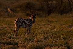 Youngster (Samuel Roth) Tags: africa nature animals wildlife zebra namibia etosha etoshanationalpark