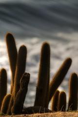 Peace (Roberto Cumsille) Tags: chile sunset cactus orange color yellow bokeh backlit pacifico oceano d300 pichilemu robertocumsille