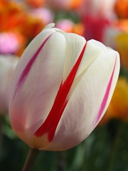 Tulip (donsutherland1) Tags: ny newyork flower spring blossom tulip bloom april mamaroneck liliaceae coth flickraward flowersarebeautiful awesomeblossoms coth5 sunrays5
