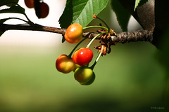 """""""He who likes cherries soon learns to climb."""" (* Ella Sokolovic *) Tags: life red green love garden spring cherries alone may enjoy"""