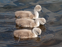 Little chaps (PHILIP.ISOM) Tags: birds cygnet westportlake sigma55200mm olympuse510