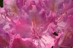 TraumWelt (deta k) Tags: flowers macro berlin germany deutschland spring flora natur pflanzen blumen frhling blten nikond5100