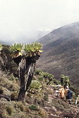 Mt. Kenya Ecotourism, 7-1973 Kenya (Hart Walter) Tags: tourism coffee cattle rice tea goats sunflower sisal camels sugarcane deforestation desertification tef africanlanduse baobabdestruction