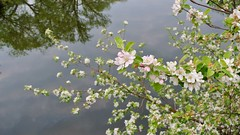Blossoms over Water (RichardBH) Tags: flowers spring