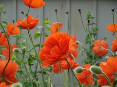 poppies 011 (cellocarrots) Tags: poppies