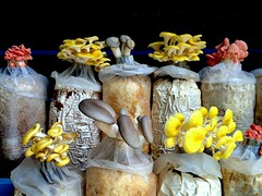 Mushroom party (PeterCH51) Tags: party food mushroom farm farming malaysia cameronhighlands cultivation iphone mushroomcultivation 5photosaday mywinners flickraward earthasia peterch51 flickrtravelaward mushroomfarming