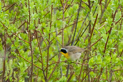 Common Yellowthroat (Geothlypis trichas) 2 (Michael J Porter) Tags: bird birds britishcolumbia walkervalley 108mileranch