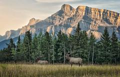 Two Bull Meadow (Jeff Clow) Tags: nature landscape wildlife meadow mountrundle albertacanada banffnationalpark bullelk twobullmeadow