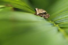 Common Tree Frog (Daniel Trim) Tags: tree nature four photography wildlife frog malaysia langkawi common striped lined commontreefrog polypedatesleucomystax fourlinedtreefrog stripedtreefrog
