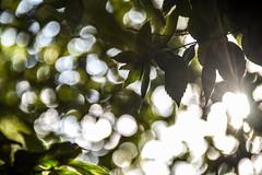 it's all about the light (Dotsy McCurly) Tags: all about light bokeh bubbles sun sunlight sunshine tree nature beautiful nikon d750 nj