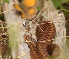 The Snake and the Butterfly (GrahamParryWildlife) Tags: 7d sport 150600 sigma grahamparrywildlife uk kent animal outdoor viewing photo flickr new sunlight depth field close up brown landscape people additional public you butterflies insect butterfly number foliage leaf plant macro white green mk2 mk11 meadow veined adder viper venom snake reptile