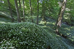 A carpet of flowers...  Wild garlic in the forest near Askrigg, Yorkshire Dales National Park. UK (Wend's photography) Tags: forest floor flowers wild garlic spring summer landscape england countryside outdoor yorkshire yorkshiredales dales national park scenic scenery photography atmosphere flower northyorkshire trees tranquil