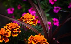 Marigolds in the yard (Dotsy McCurly) Tags: marigold flower plant nature beautiful orange pink dof bokeh nikon d750 nj