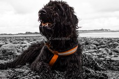 Dog (5) (LewisWhitePhotos) Tags: dogs dog animals puppy outdoors photoshoot labradoodle setter irishredsetter redsetter labradoor poodle bright vibrant actionshots action happy excited pictures photo photography shoot outdoor