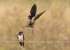 Room for a small one?! (ToriAndrewsPhotography) Tags: barn swallow flight bokeh photography andrews tori