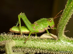 Agriacris magnifica (Ecuador Megadiverso) Tags: agriacrismagnifica book flickr grasshopper loscedros lubbergrasshopper orthoptera romaleidae romaleinae andreaskay ecuador