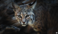 Bobcat Stare (ELAINE'S PHOTOGRAPHS) Tags: cats bigcats felines nature animals wildlife desertanimals