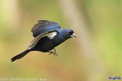 (#809a) Male RUBY-CROWNED TANAGER - [ Nova Friburgo, Brazil ] (tinyfishy's World Birds-In-Flight) Tags: bird inflight flying male ruby crowned tanager nova friburgo brazil