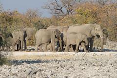 Namibia 2016 (344 of 486) (Joanne Goldby) Tags: africa africanelephant august2016 elephant elephants etosha etoshanationalpark explore loxodonta namiblodgesafari namibia safari