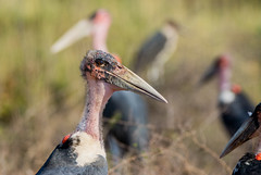 Marabou Stork (dunderdan77) Tags: krugerpark southafrica nature bird wildlife