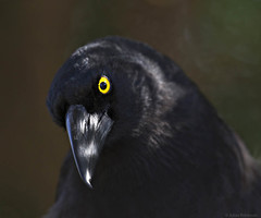 Pied Currawong - bird portrait #2 (aaardvaark) Tags: 201608151d8993piedcurrawong39x32 piedcurrawong streperagraculina anbg canberra act australia bpx