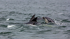 Chanonry Point 26 July 2016-0189.jpg (JamesPDeans.co.uk) Tags: digital downloads for licence dolphins chanonrypoint mammals highlands gb prints sale sea unitedkingdom blackisle bottlenoseddolphins britain man who has everything james p deans photography ocean nature scotland landscape europe uk whales digitaldownloadsforlicence jamespdeansphotography printsforsale forthemanwhohaseverything