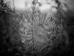 Dewy spider web (Helena Normark) Tags: dewyspiderweb spiderweb morningdew dew heimdal srtrndelag norway norge sonyalpha7ii a7ii voigtlnder cv5015 nokton5015 nokton50mmf15