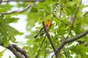 Firethroat (martytdx) Tags: garretmountain nj woodlandpark birding birds migrationspring2016 songbird warbler woodwarblers blackburnianwarbler setophagafusca setophaga parulidae male lifelist