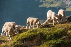 Chemin du port de Salau (Arige) (PierreG_09) Tags: arige pyrnes pirineos couserans portdesalau couflenssalau faune troupeau estive transhumance mouton brebis estivedepouilh pouilh