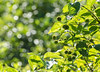 Buttonbush (hickamorehackamore) Tags: 2016 buttonbush ct ctriver cephalanthusoccidentalis connecticut connecticutriver haddam haddammeadows native river shrub statepark summer wetfeet