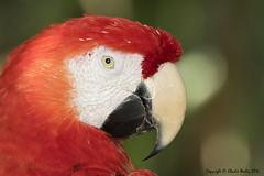 Real Bad Boy (wesjr50) Tags: birds macaw nature wildlife captive canon 7d mk ii ef 500mm f4 l is usm better beamer flash st augustine alligator farm