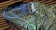 Iguana (Macro) (Jocarlo) Tags: art afotando crazygeniuses crazygenius animales animals editing flickrclickx flickraward flickrstruereflection1 flickrphotowalk fuji fujifilm genius photowalk photowalkmelilla photograpfy photografy iguana jocarlo clickofart ngc nationalgeographic rostros soulocreativity1 xt1 animal