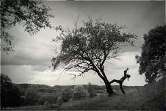 Apple Tree (Cimber_Photos) Tags: mono monochromatic monocrome denmak treesnature
