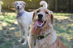 DSC_0127 (ghoulia) Tags: goldendoodle goldenretriever poodle labradoodle labrador rovercom dogvacay