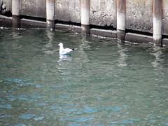 Seagull Swimming In The Locks. (dccradio) Tags: massena ny newyork stlawrencecounty stlawrenceseaway stlawrenceriver eisenhowerlocks dwighteisehnhowerlocks shipping ships boats seagull bird water swim swimming locks